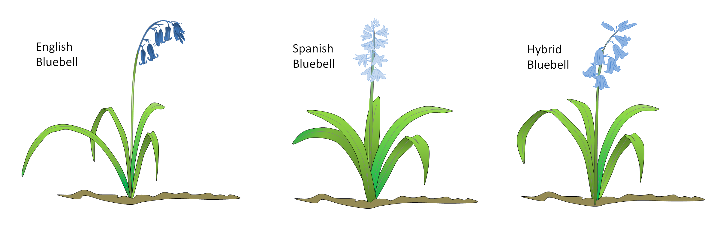 Bluebell Types