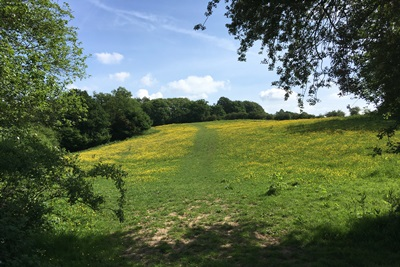 Buttercups on the Way to Mill Place