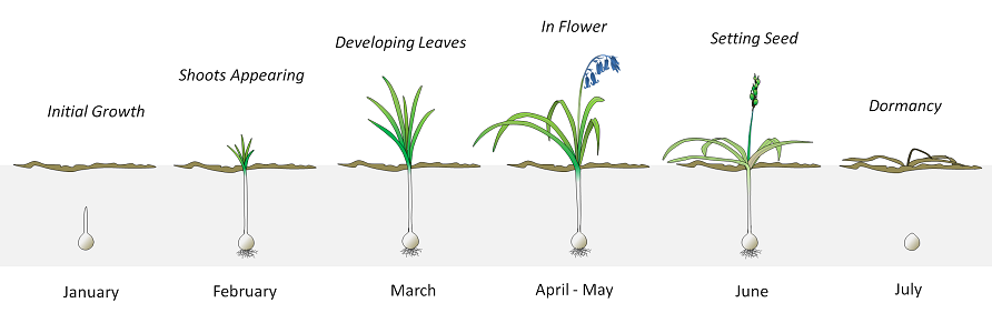 Bluebell life cycle from January to July, with flowering in April and May.