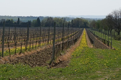 Bluebell Vineyard