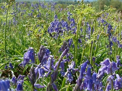 Bluebells in flower among bracken