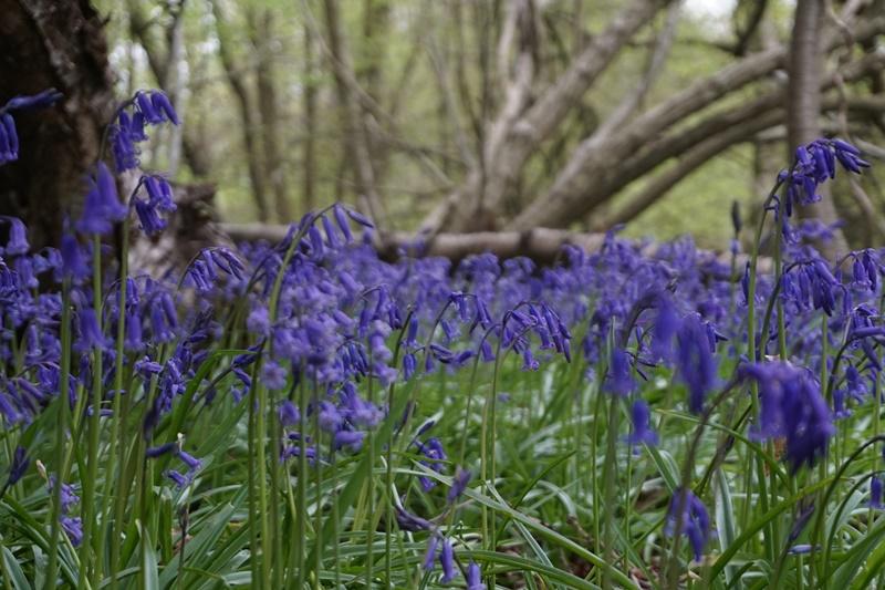 Bluebells in Wapsborne Wood